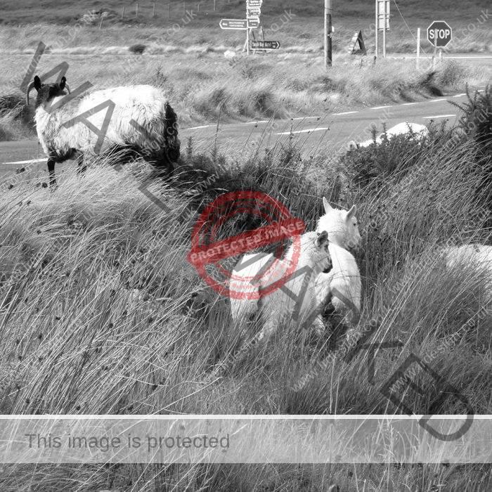 Black & White Livestock Photography